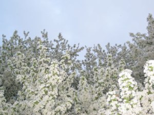 White blossoms and sky