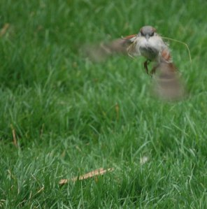 sparrow flying with fur