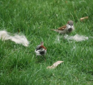 sparrows with dog fur