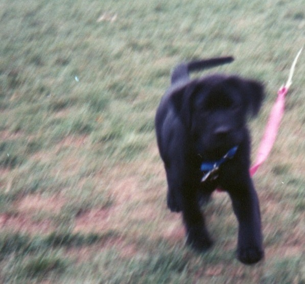 Black lab puppy running
